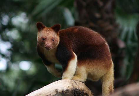 canguro - vivir en australia - trabajar en australia