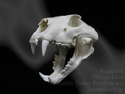 bcbc054ライオンの頭蓋骨