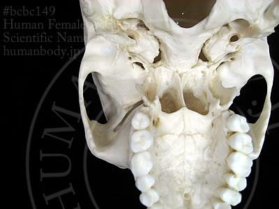 BCBC149女性頭蓋骨模型の頭蓋