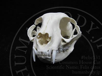 ネコの頭蓋骨を正面から見る