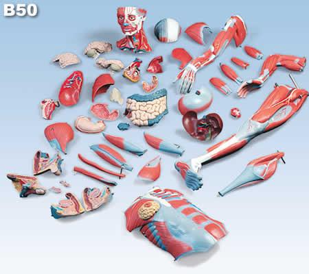 筋肉解剖模型B50
