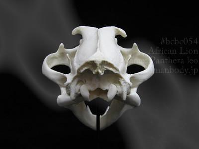 ライオンの頭蓋骨を背面から見る