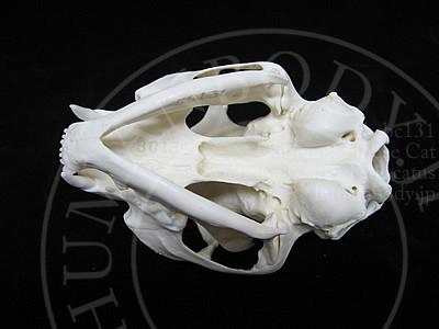 ネコ頭蓋骨模型BCBC131