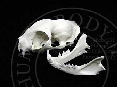 ネコ頭蓋骨模型の分解