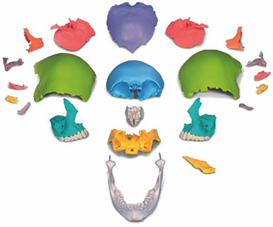 頭蓋骨模型22分解キットを分解した様子