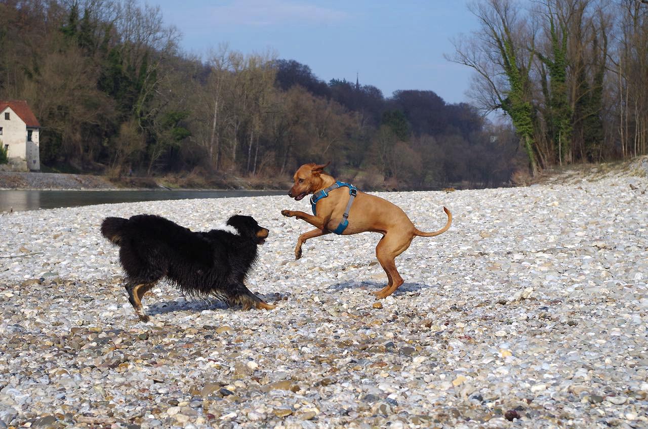 Nur zu Fotozwecken wurde bei diesem Spiel das Geschirr am Hund gelassen – normalerweise sollte es wegen der Verletzungsgefahr abgenommen werden.
