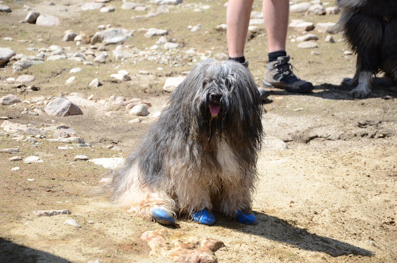 Mika, die gehandicapte Tibet Terrier-Hündin.