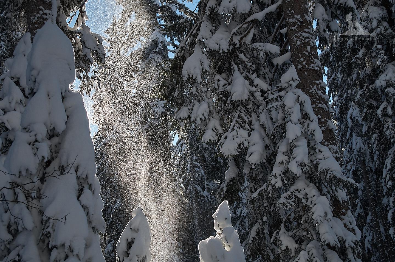 Leise und glitzernd rieselt der Schnee von den Bäumen.
