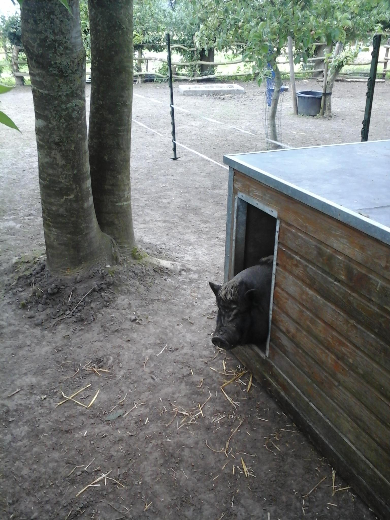 Bella het vietnamese hangbuikzwijntje