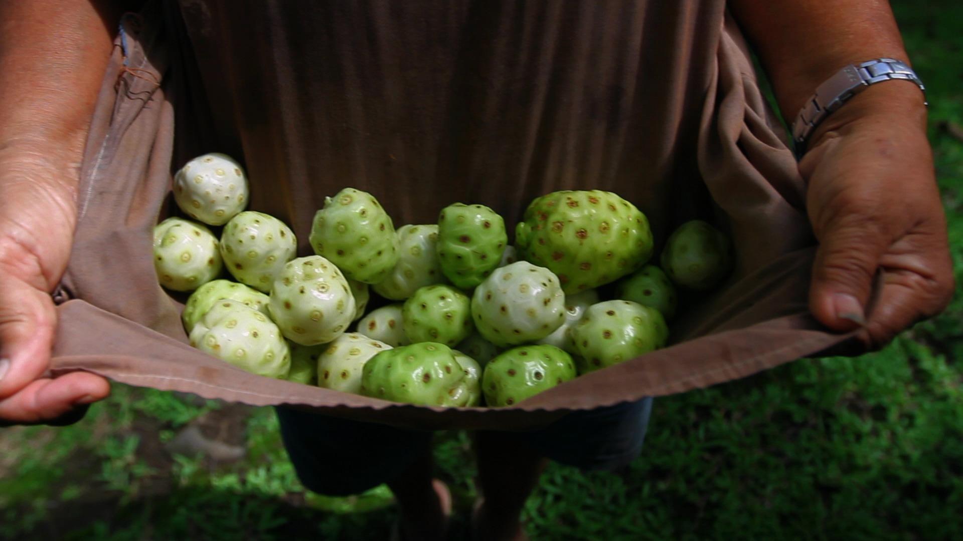 Noni-Früchte nach der Ernte
