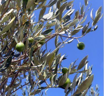 Branche olives vertes - Domaine Chante Coucou - La Bastidonne 84 - Luberon