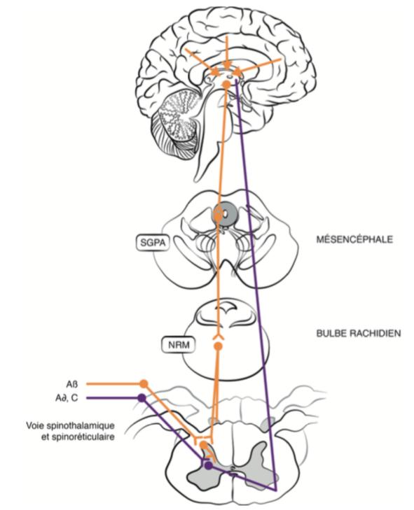 Trois niveaux des mécanismes endogènes