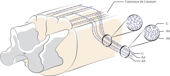 Organisation des fibres A et C au sein de la racine dorsale.