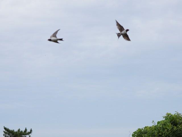 6月30日:元気よく飛ぶツバメたち。