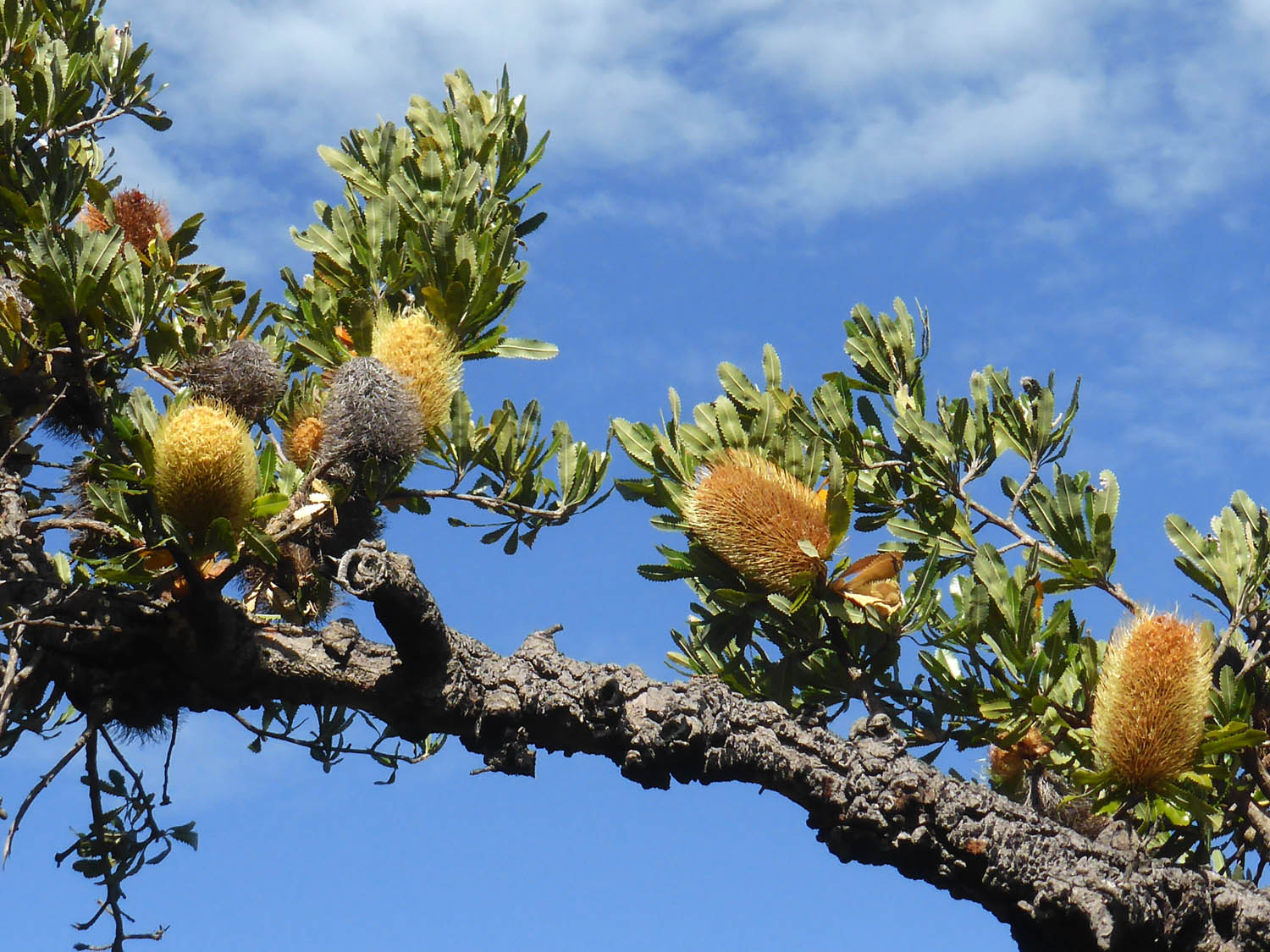 Banksia flowers on a branch