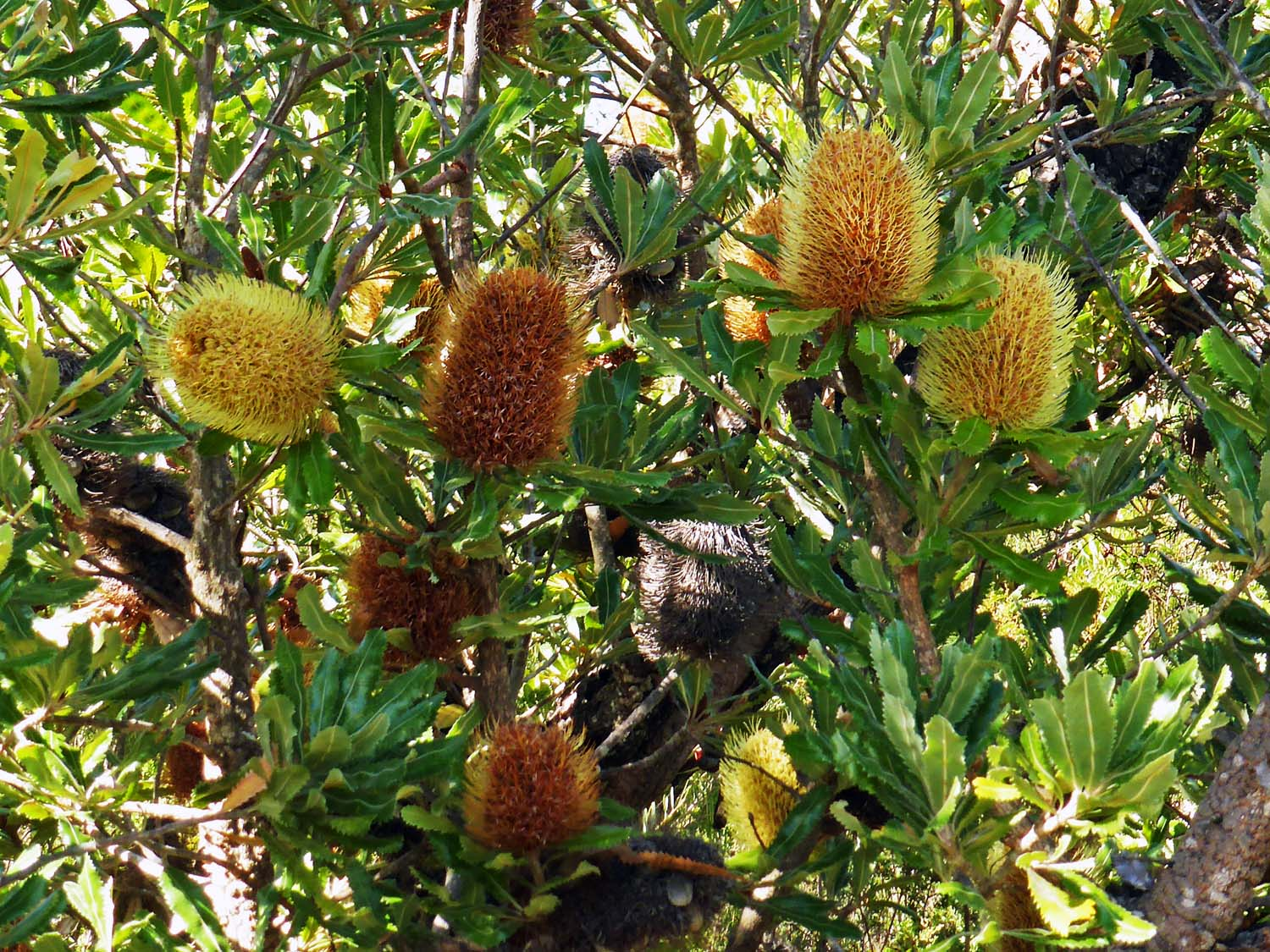 A cluster of banksia flowers