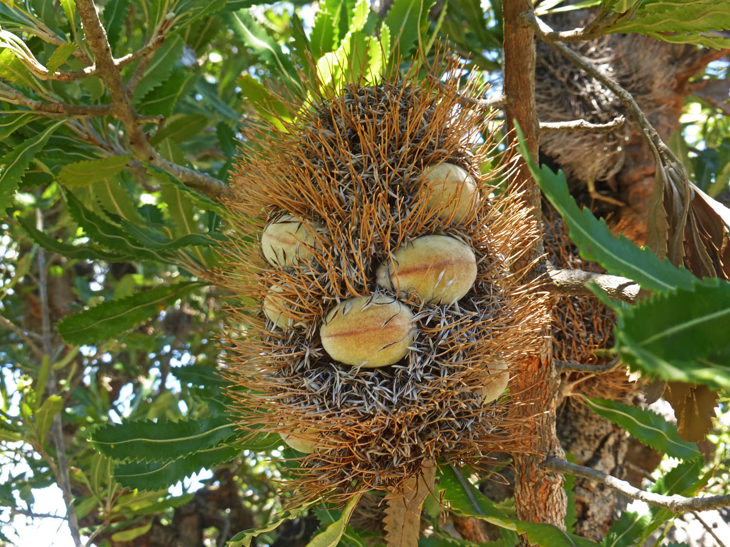 A banksia flower with seed pods
