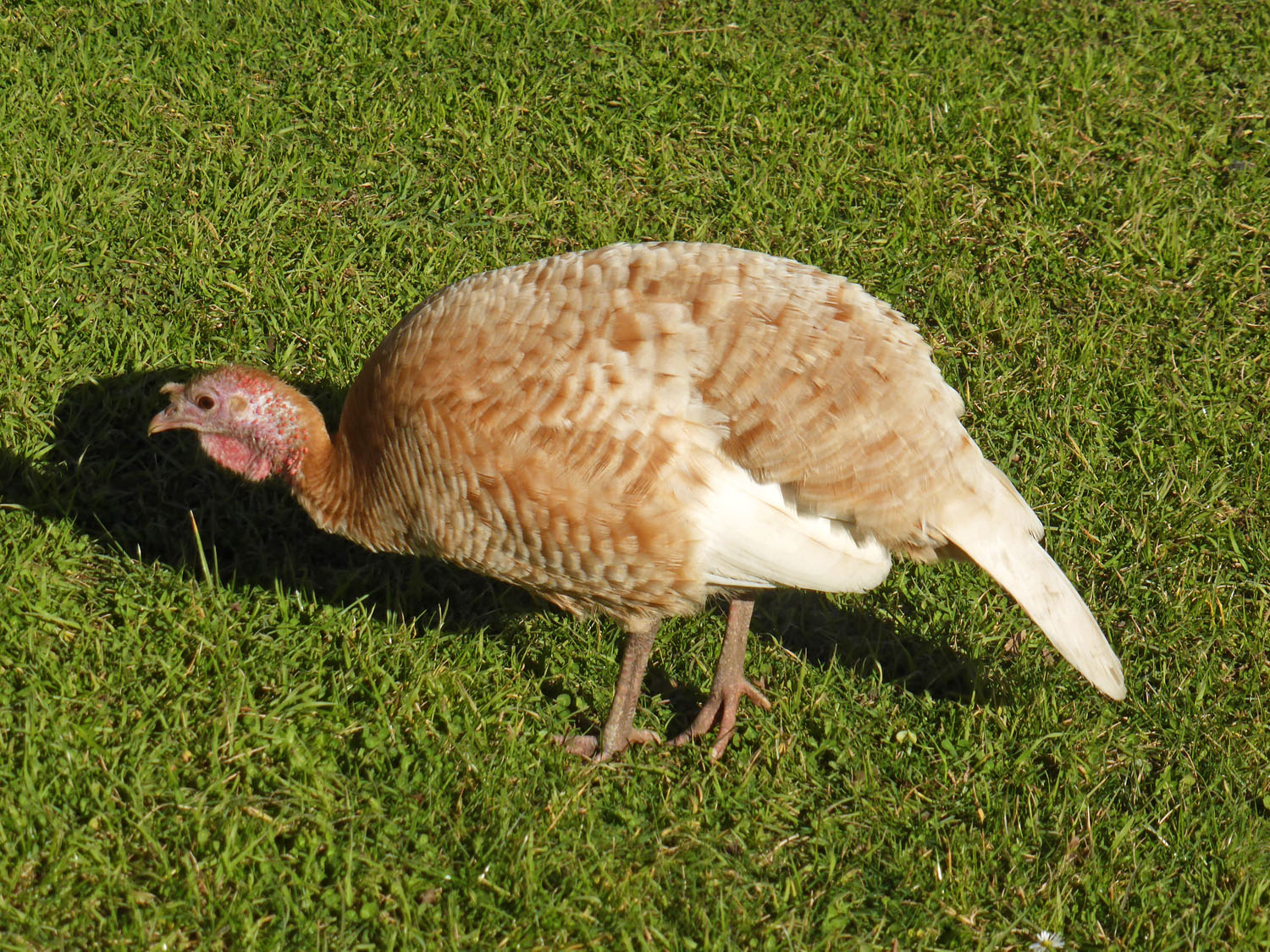 A turkey hen