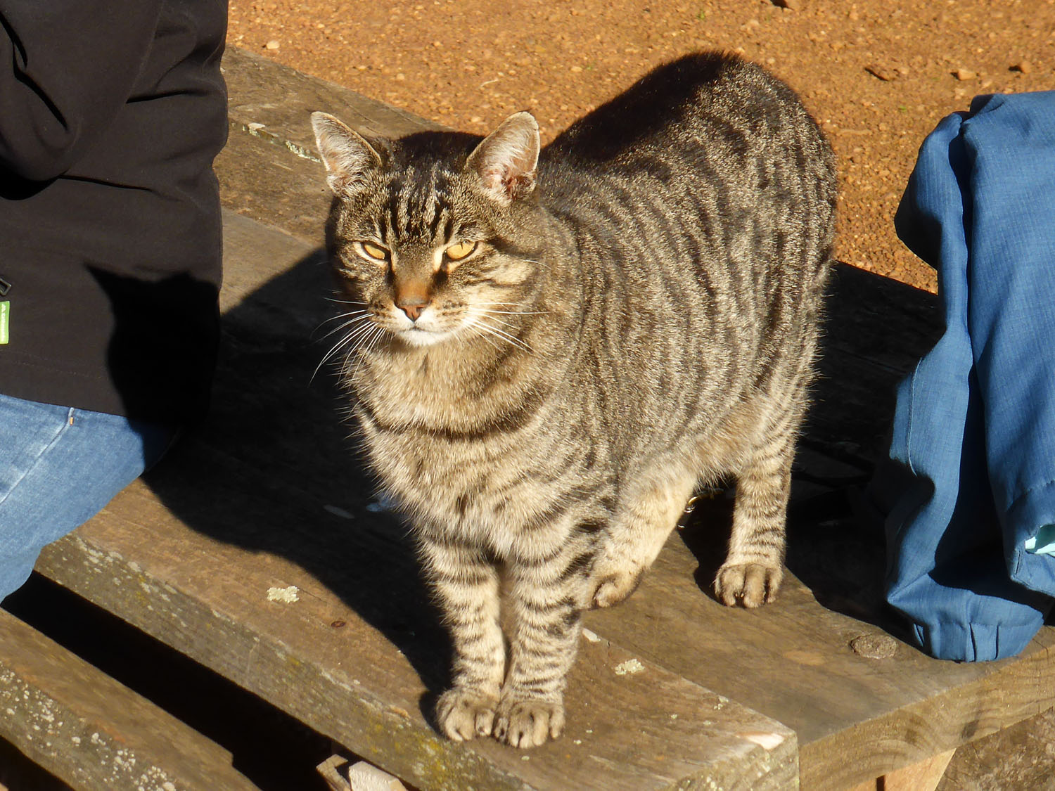 A feral-looking, but friendly, farm cat