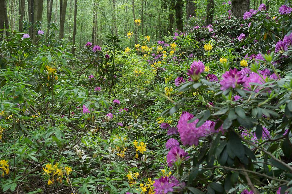 Rhododendron-Hybride im Venner Moor bei Senden