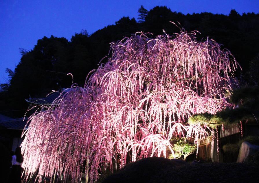 村上邸しだれ梅のライトアップ。2/25撮影