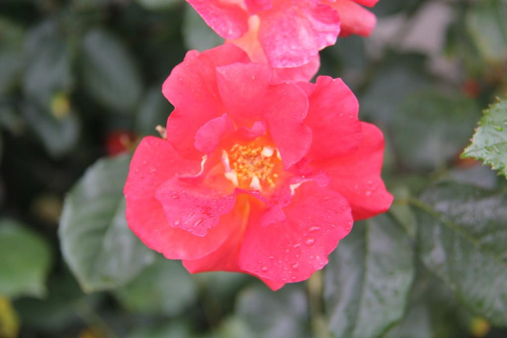 賀集 万福寺つる バラ