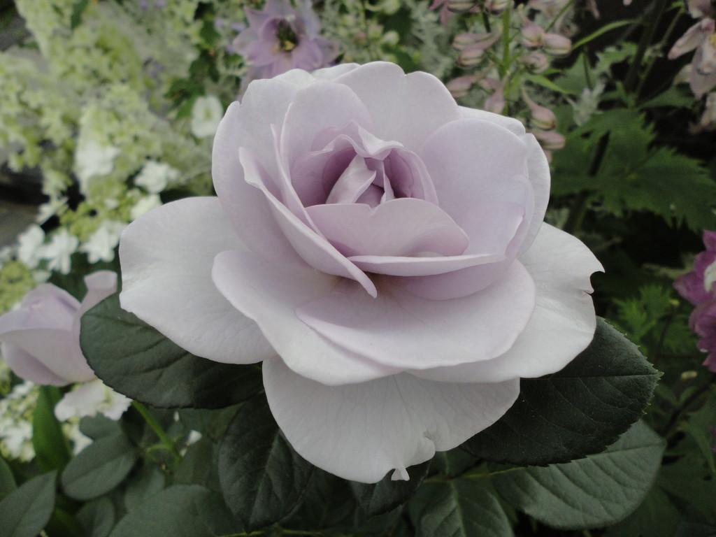 珍しいブルーのバラ
