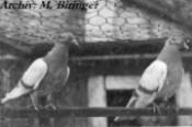 Zuchtpaar Arader Tümmler Gelbafhl 1960 aus der Zucht meines Großvaters Franz Biringer sen.