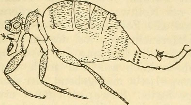 Pulizide (Flöhe) waren ein Spezialgebiet Dahls