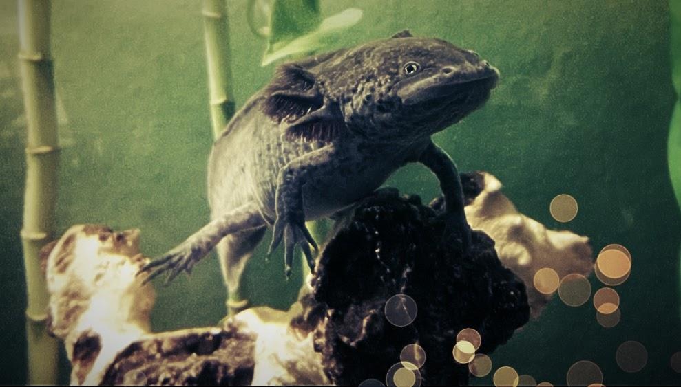 Mindestanforderungen Für Adoptionen Axolotl Elb Molches Webseite