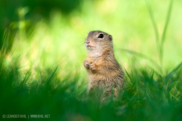 European Ground Squirrel / Ziesel