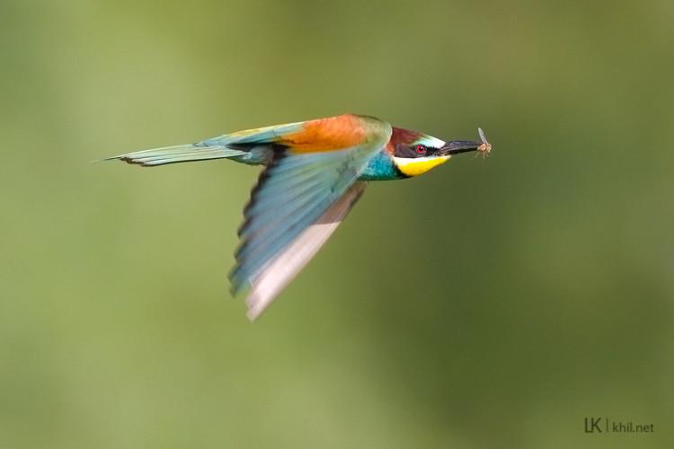 Bee-eater / Bienenfresser