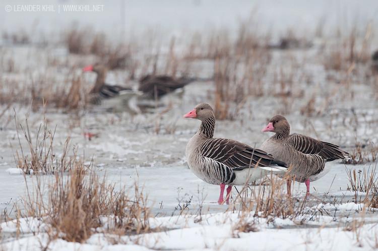 Greylag Geese / Graugänse