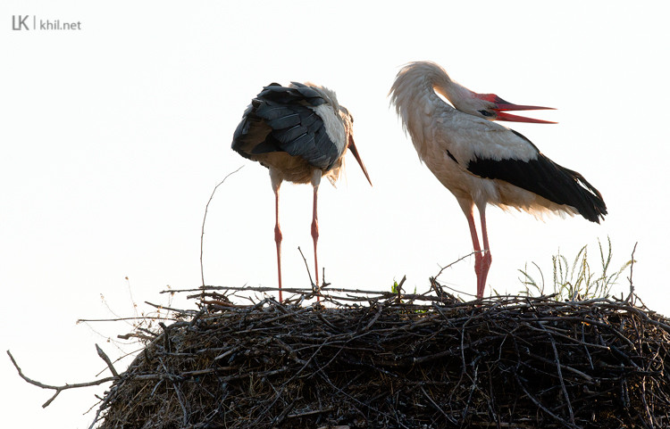 Weißstorch / White Stork