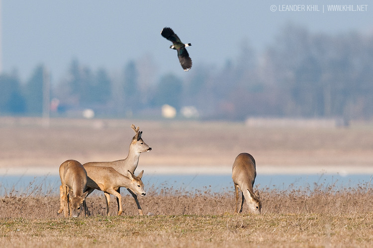 Roe Deer / Rehe with lapwing