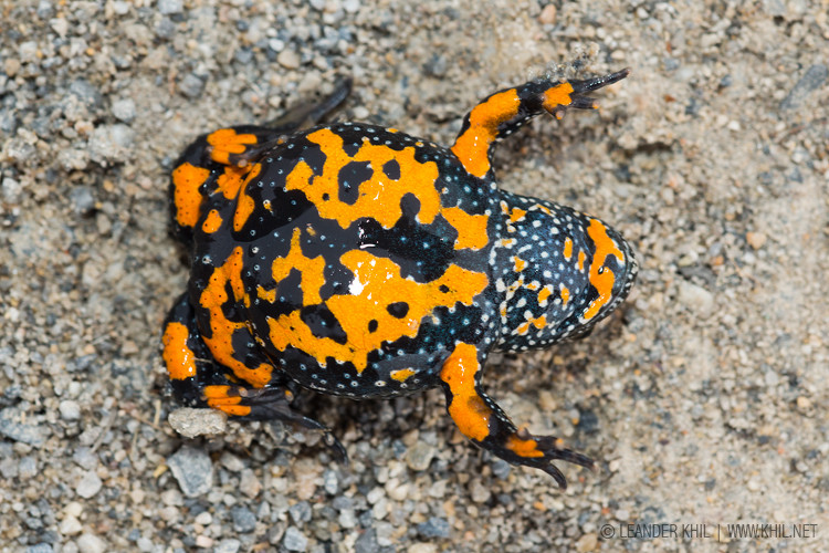 Fire-bellied Toad / Rotbauchunke