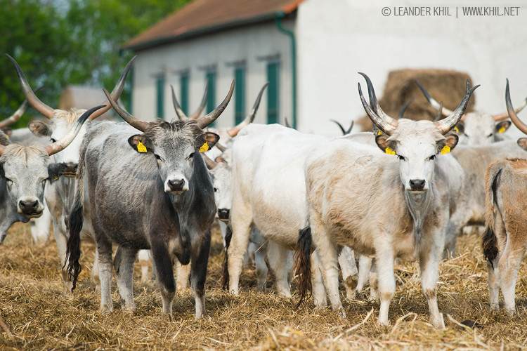 Hungarian Grey Cattle / Ungarisches Graurind - the typical cattle breed of the Pannonian lowlands