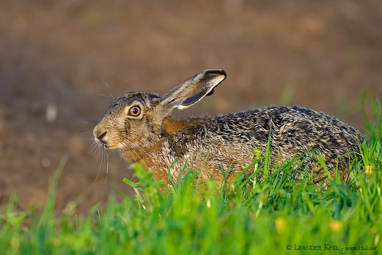 European Hare / Feldhase