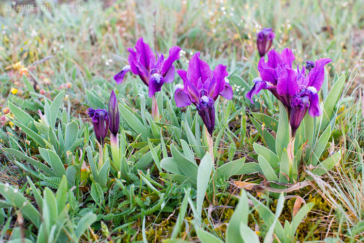 Iris pumila / Zwergschwertlilie at the western end of its distribution