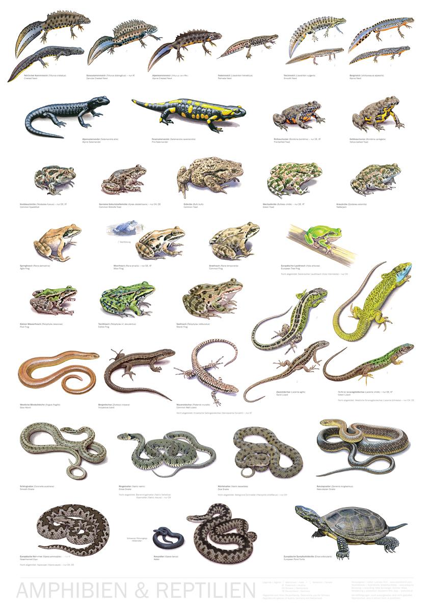 Poster Amphibien & Reptilien Mitteleuropas