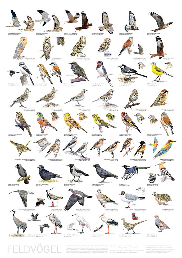 Poster Feldvögel