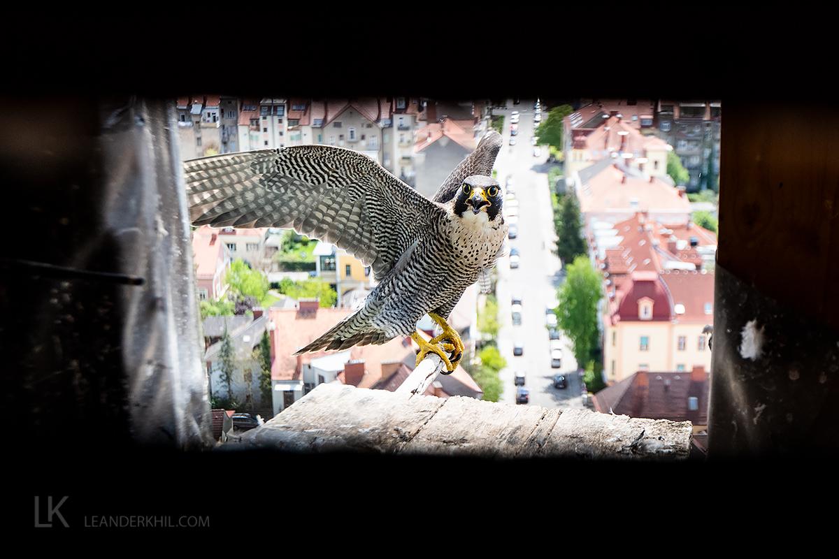 Wanderfalken brüten erstmals in Graz