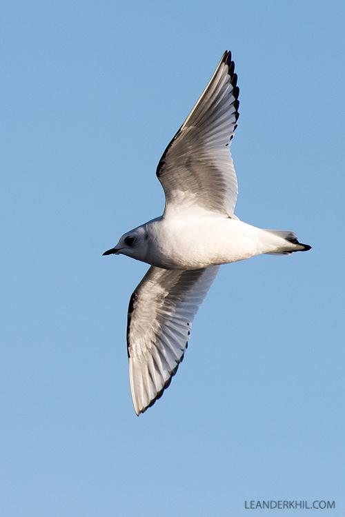 Ross's Gull / Rosenmöwe (Rodosthetia rosea) | Vlissingen, 2.2.2018