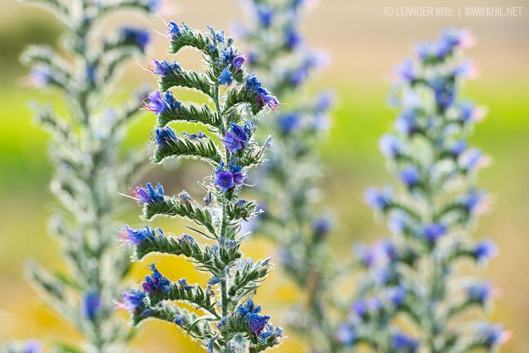 Blueweed / Gewöhnlicher Natternkopf