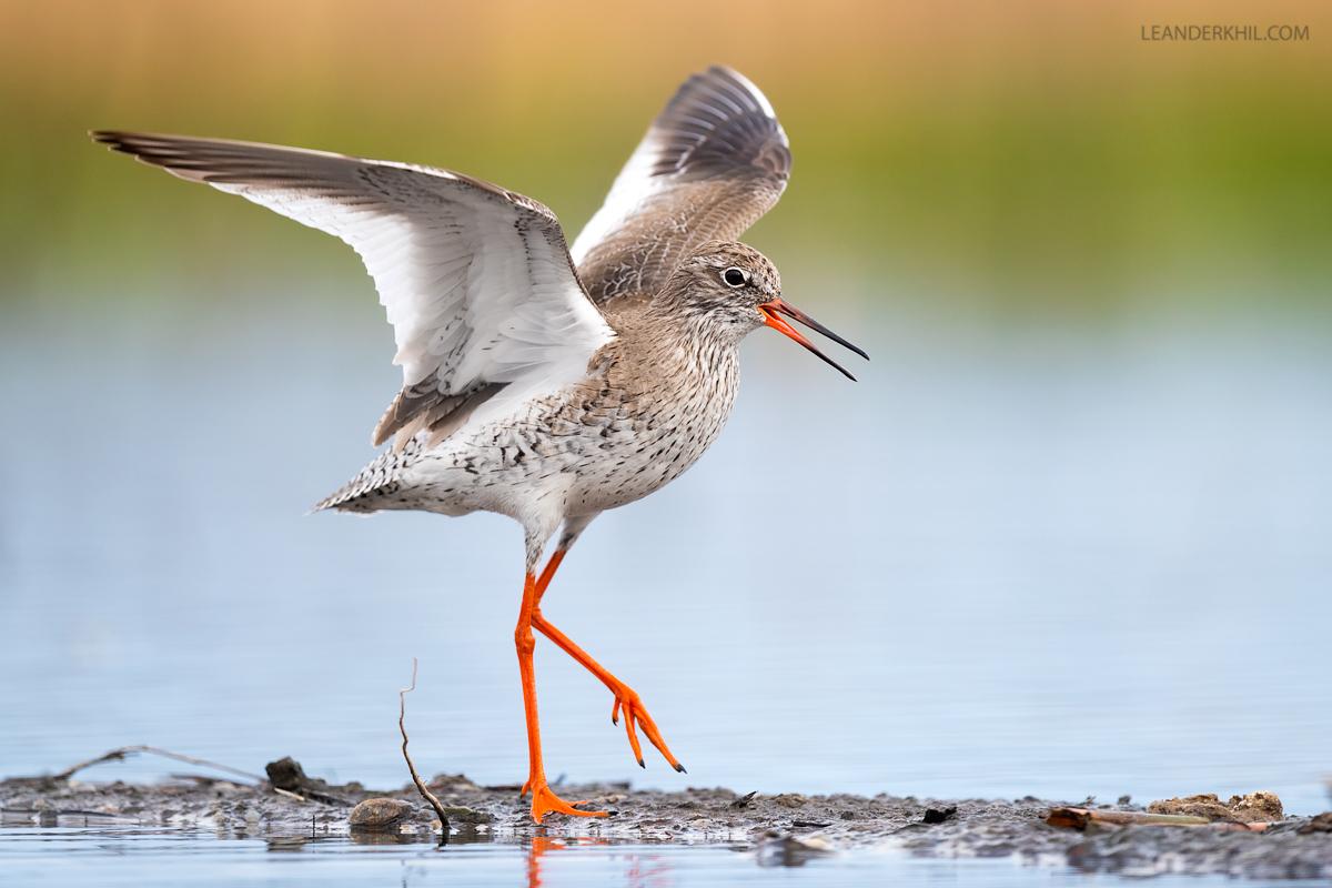 Live Webinar: Vögel der Feuchtwiesen