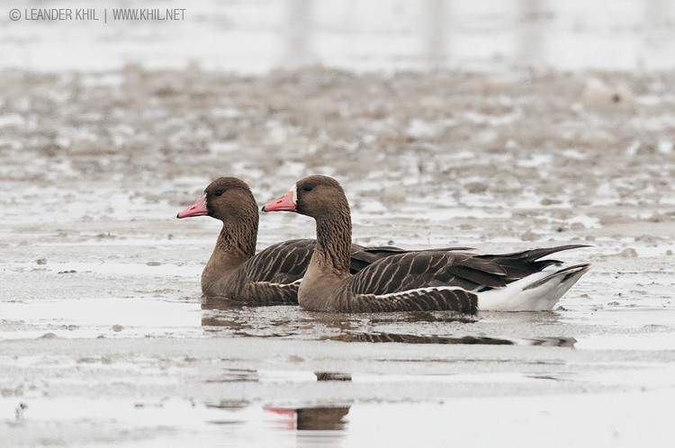 Greater White-fronted Goose / Blässgans