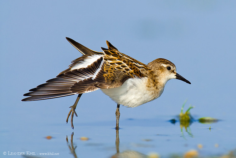 Little Stint / Zwergstrandläufer