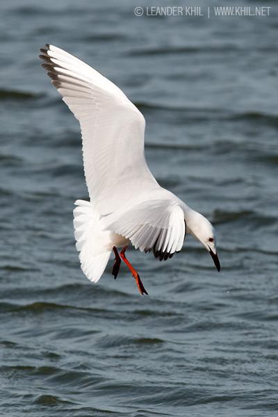 Slender-billed Gull / Dünnschnabelmöwe (Larus genei)