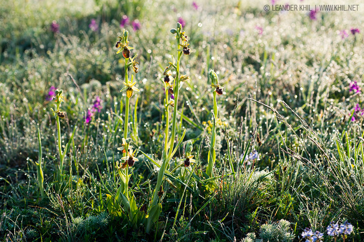 Spider Orchid / Spinnenragwurz