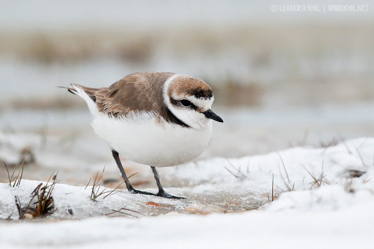 Kentish Plover / Seeregenpfeifer